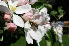 pszczola5