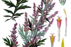 Artemisia_vulgaris_-bylica pospolita