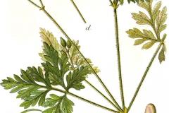 Geranium_robertianum_bodziszek cuchnacy