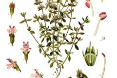 Thymus_vulgaris_-_macierzanka tymianek